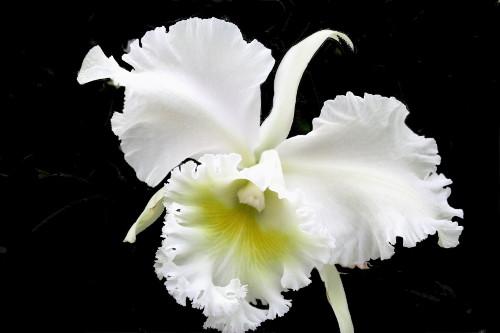 orchideen sorten bl tenpracht neue orchideen sorten in. Black Bedroom Furniture Sets. Home Design Ideas