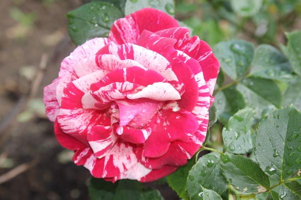 passende stauden und gr ser im rosenbeet unterstreichen die sch nheit der rosen der feuerrote. Black Bedroom Furniture Sets. Home Design Ideas